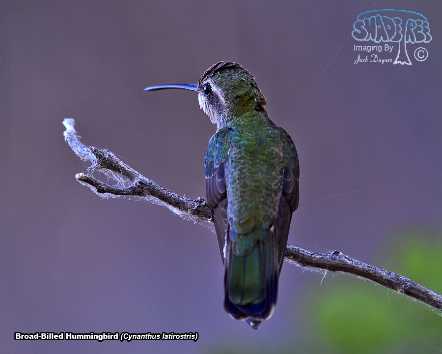 Broad-Billed Hummingbird - Cynanthus latirostris