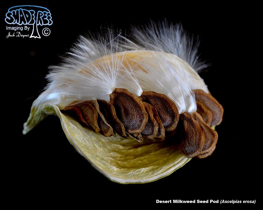Desert Milkweed Seed Pod
