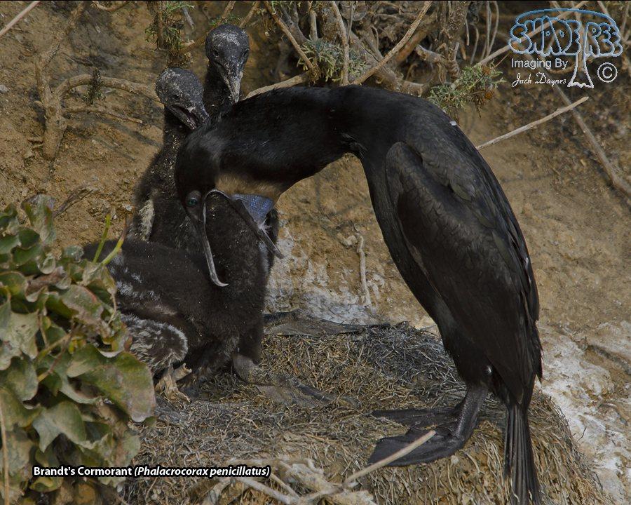 Brandt's Cormorant - Phalacrocorax penicillatus