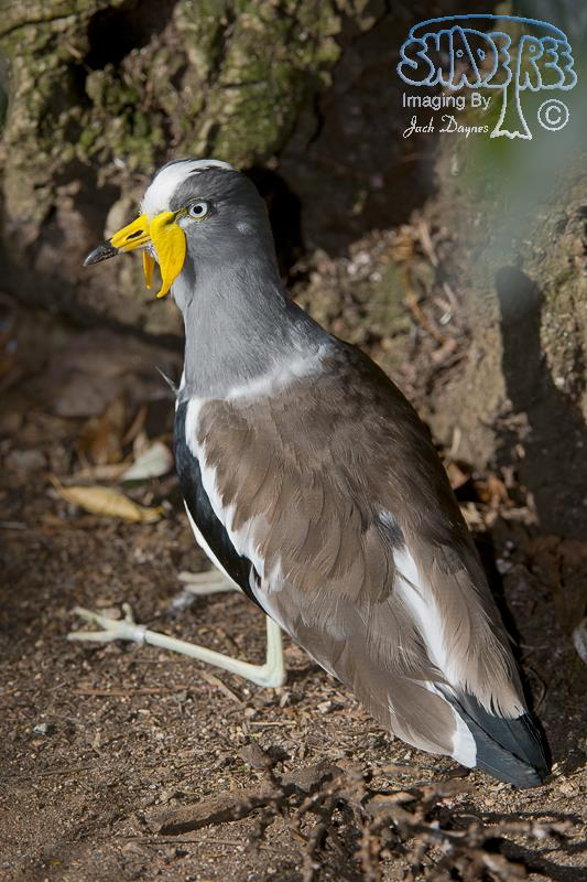 White-Crowned Lapwing - Vanellus albiceps