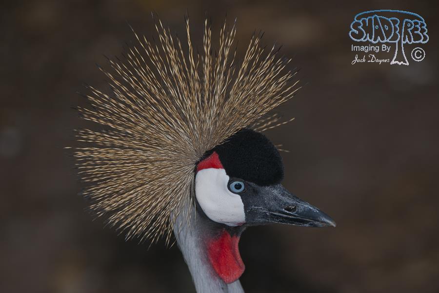 Grey Crowned Crane - Balearica regulorum