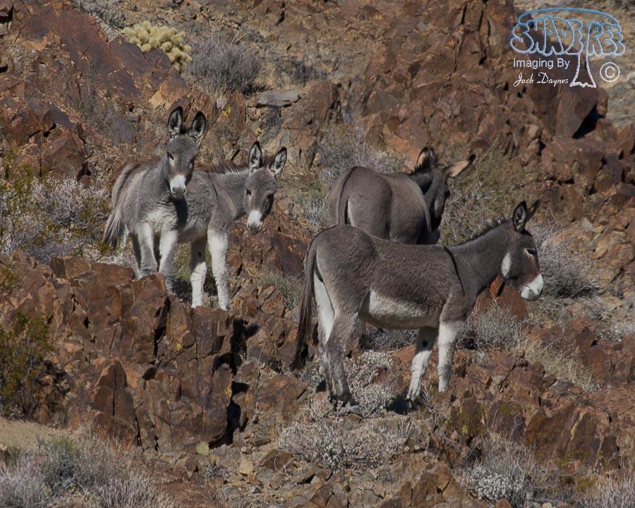Wild Burro - Equus asinus