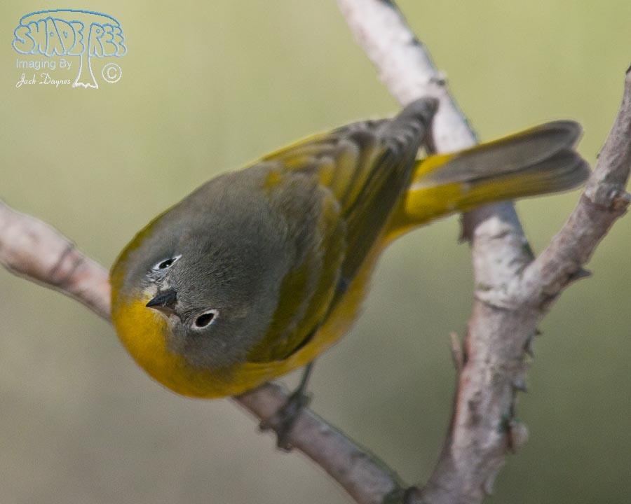 Nashville Warbler - Vermivora ruficapilla