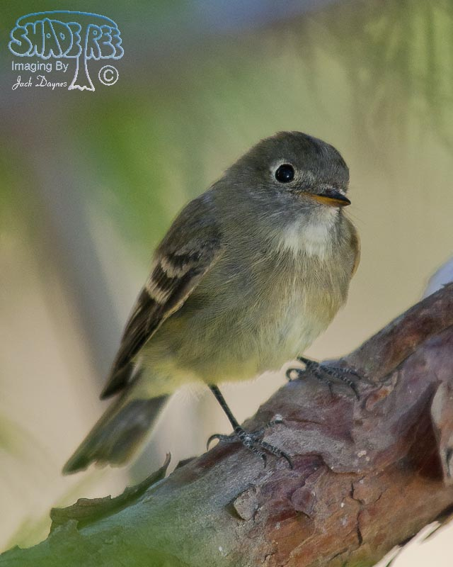 Dusky Flycatcher - Empidonax oberholseri