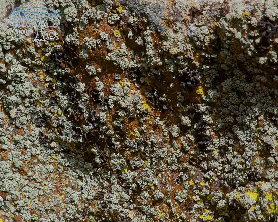 Mountain Lichen - Unknown