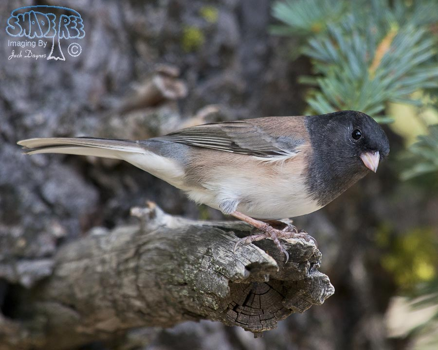 Dark-Eyed Junco - Junco hyemalis