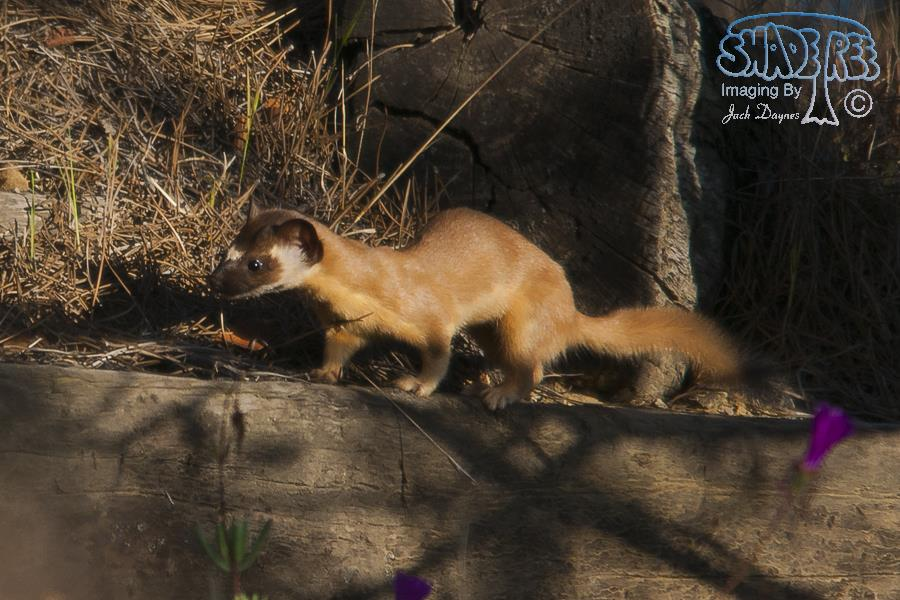 Long-Tailed Weasel - Mustela frenata