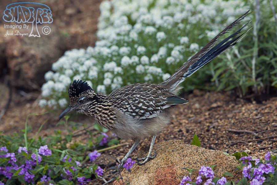 Greater Roadrunner - Geococcyx californianus