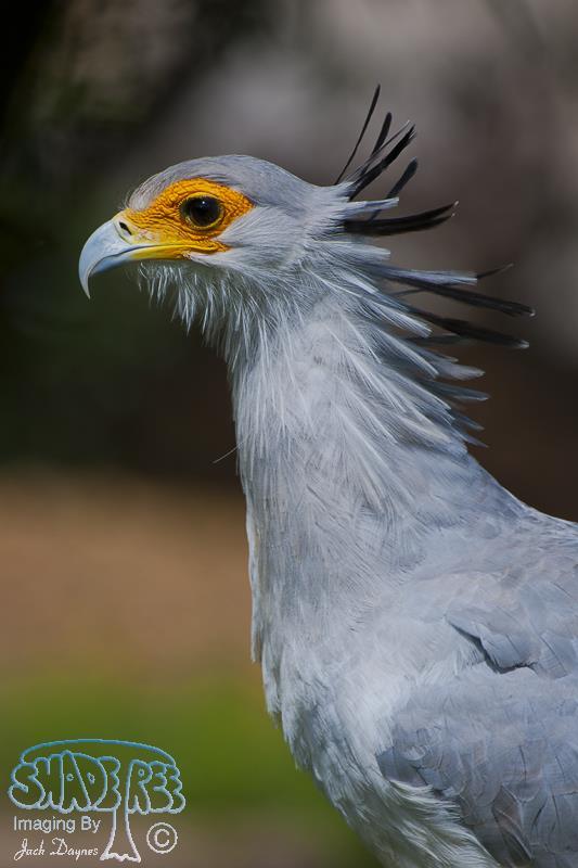 Secretarybird - Sagittarius serpentarius