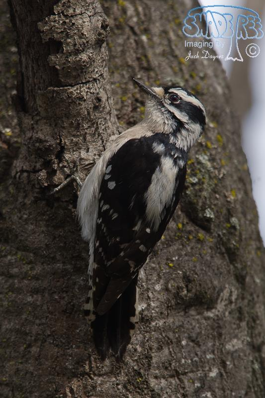 Downy Woodpecker - Dryobates pubescens