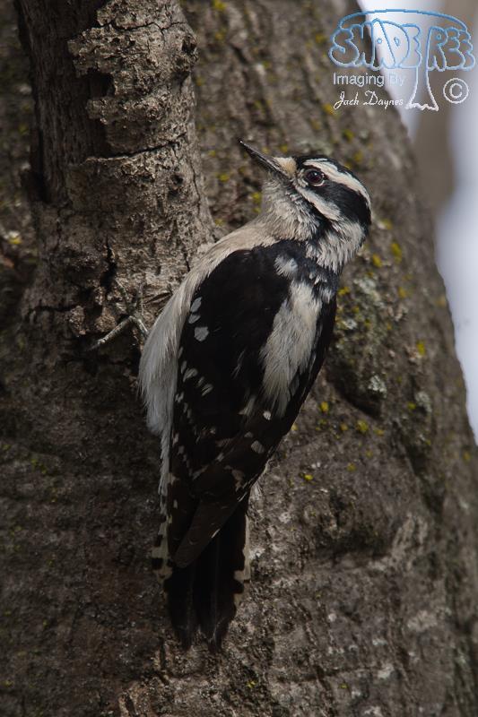 Downy Woodpecker - Dryobates pubescens