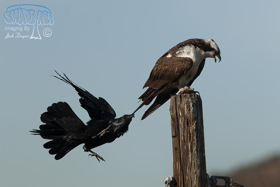 Osprey and Ravens
