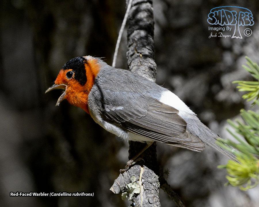 Red-Faced Warbler - Cardellina rubrifrons