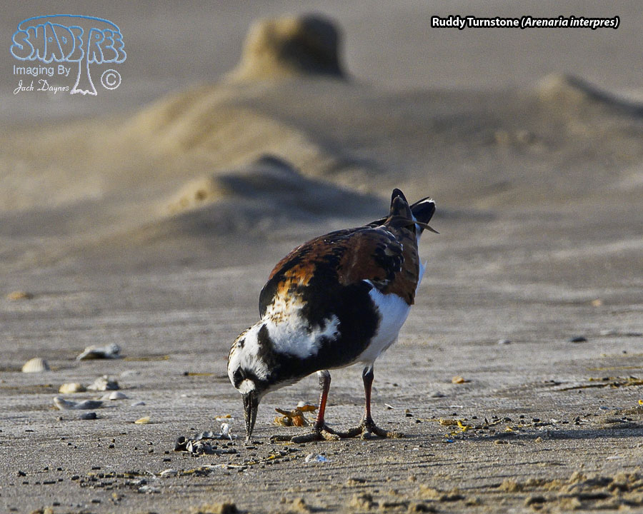 Ruddy Turnstone - Arenaria interpres