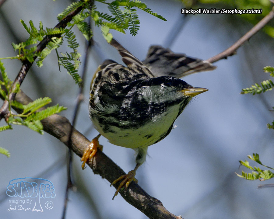 Blackpoll Warbler - Setophaga striata