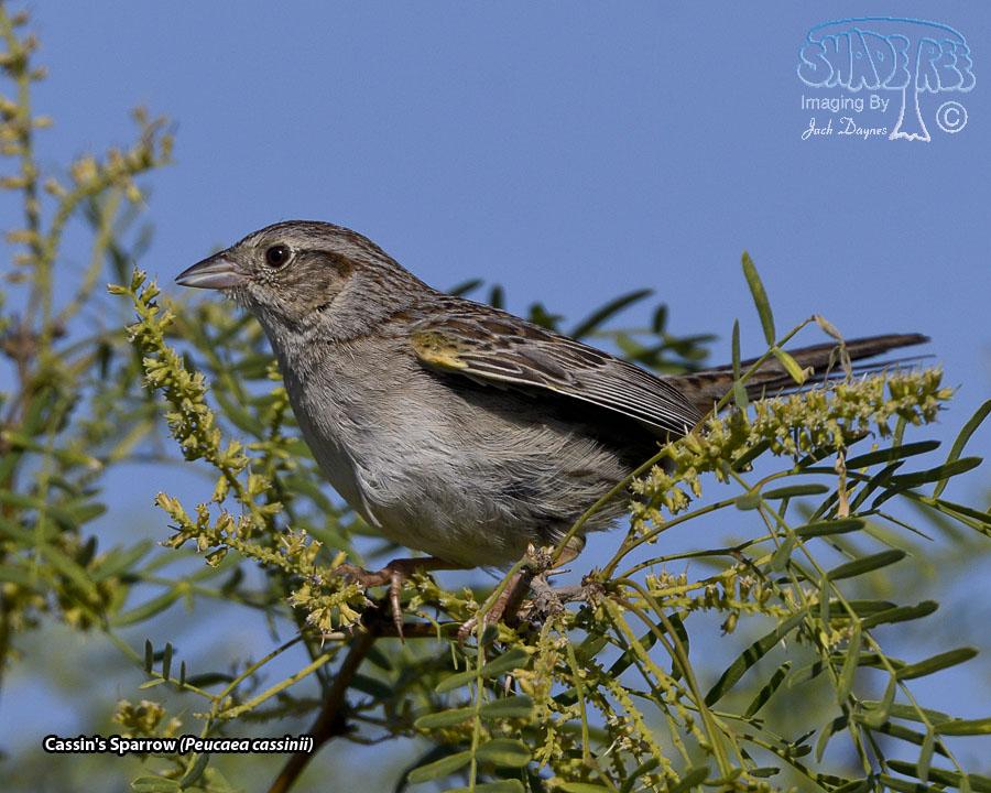 Cassin's Sparrow - Peucaea cassinii