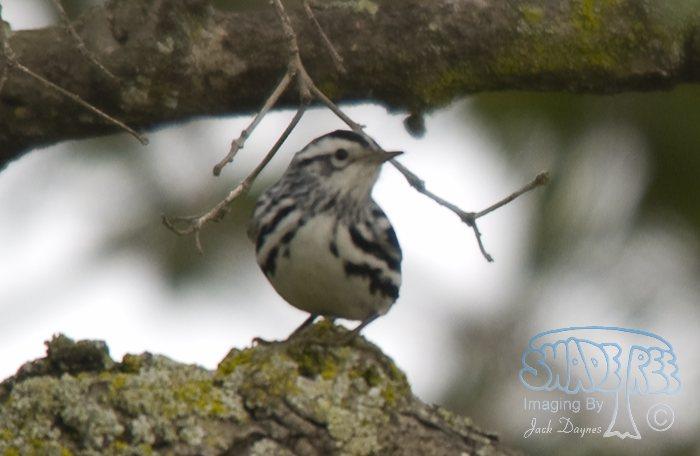 Black-and-White Warbler - Mniotilta varia
