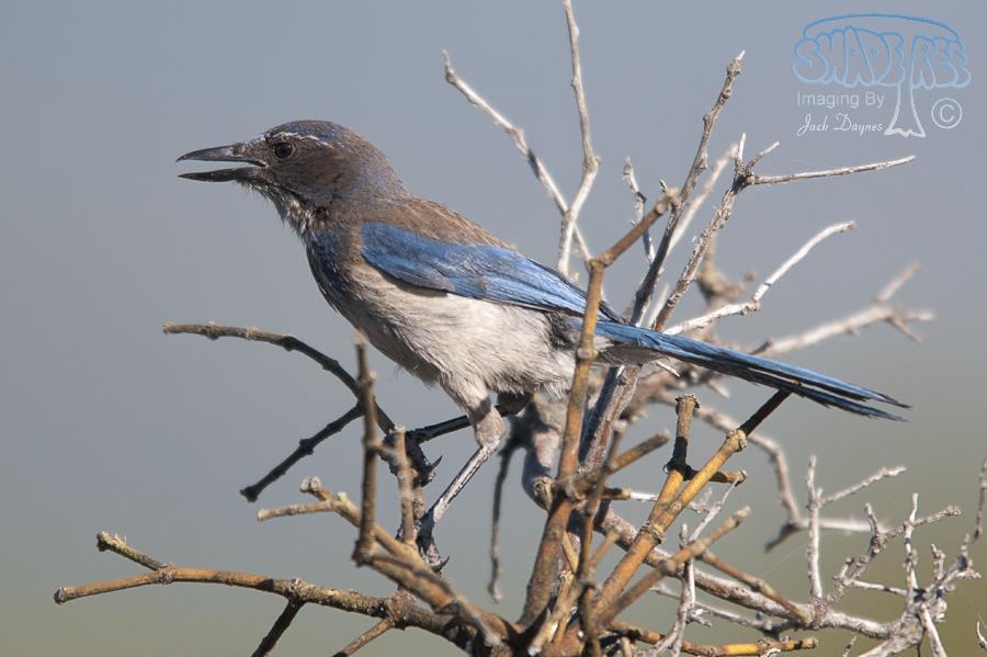 California Scrub-Jay - Aphelocoma californica