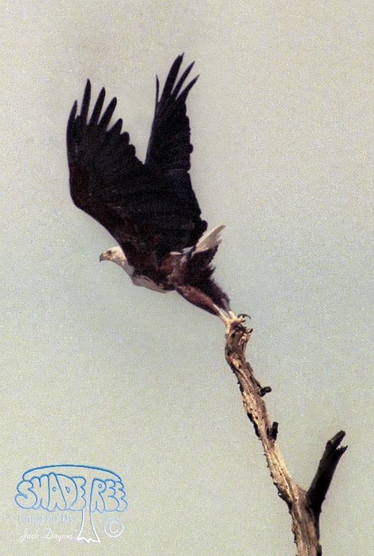 African Fish Eagle - Haliaeetus vocifer