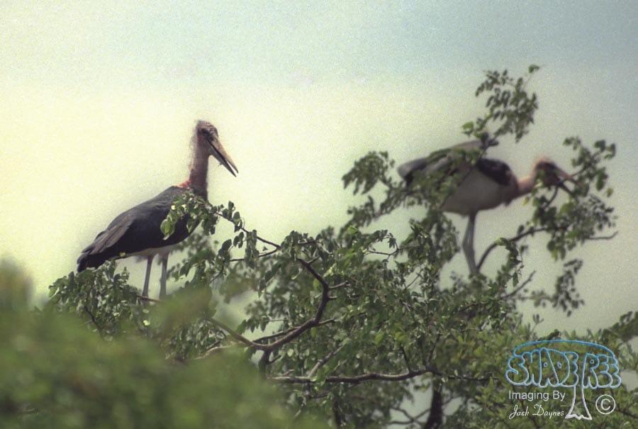 Marabou Stork - Leptoptilos crumeniferus