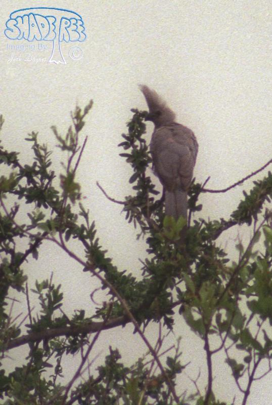 Grey Lourie - Corythaixoides concolor