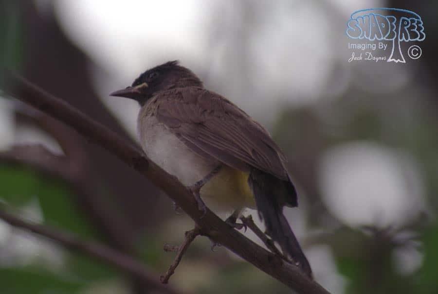 Dark-Capped Bulbul - Pycnonotus barbatus