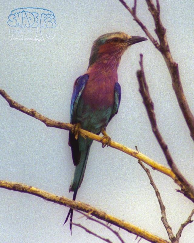 Lilac-Breasted Roller - Coracias caudatus
