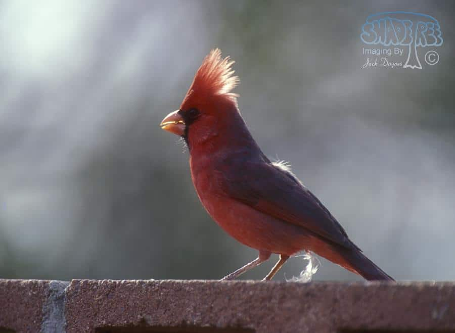 Northern Cardinal - Callipepla californica