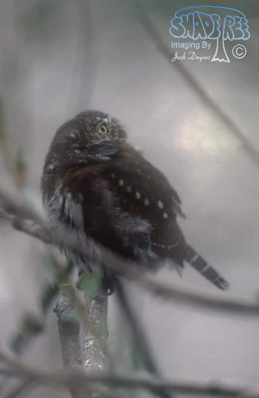 Northern Pygmy Owl - Glaucidium gnoma