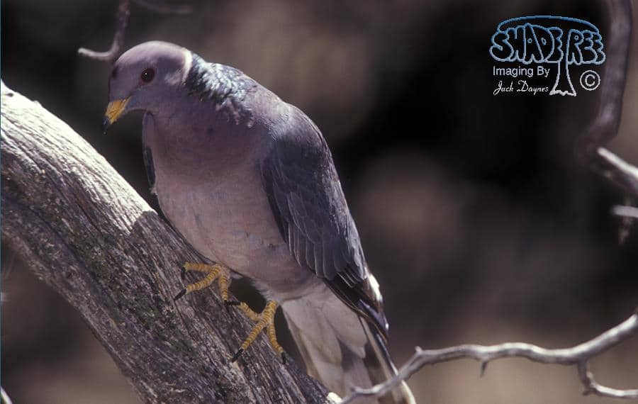 Band-tailed Pigeon - Columba fasciata