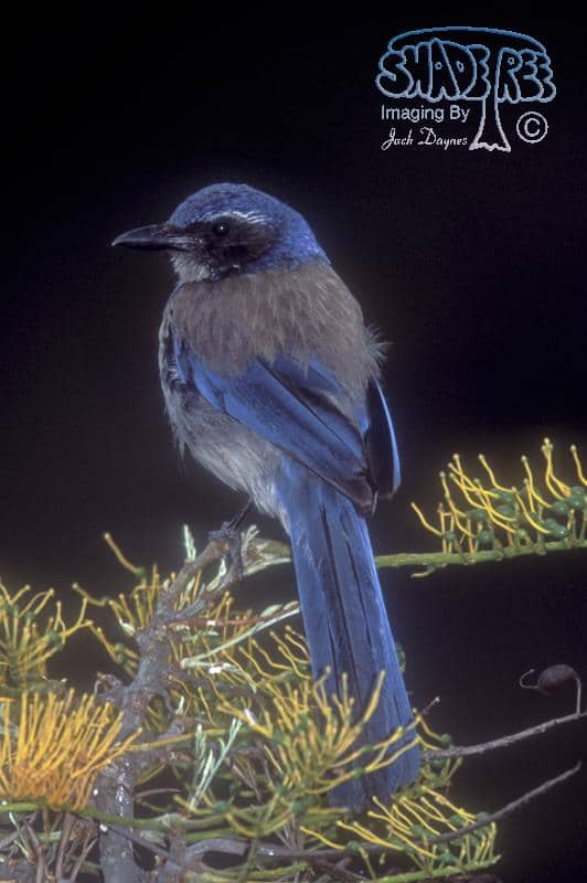 Western Scrub-Jay - Aphelocoma californica