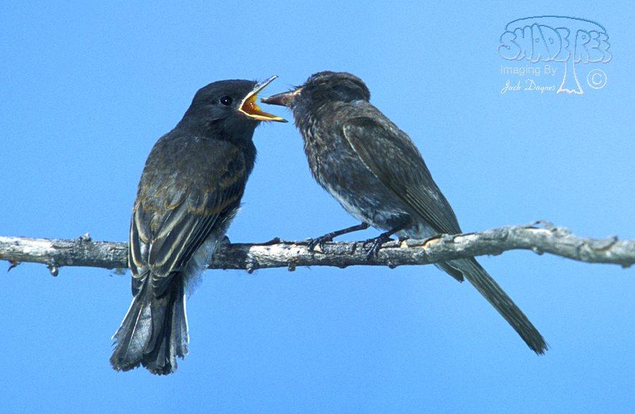 Black Phoebe - Sayornis nigricans