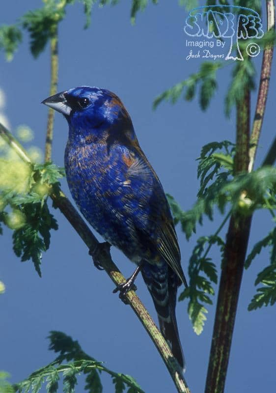 Blue Grosbeak - Passerina caerulea