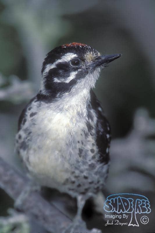 Nuttall's Woodpecker - Picoides nuttallii