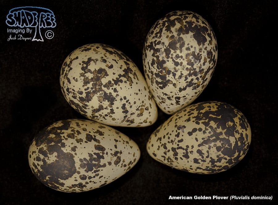 American Golden Plover - Pluvialis dominica