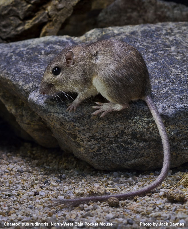 Northwest Baja Pocket Mouse - Chaetodipus rudinoris