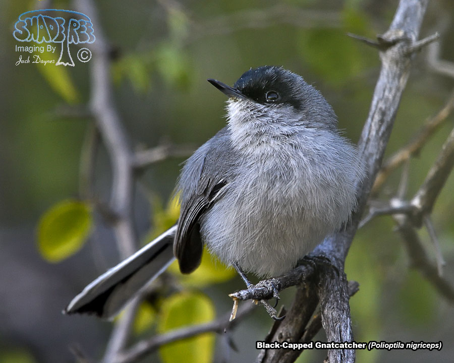 Black-Capped Gnatcatcher - Polioptila nigriceps