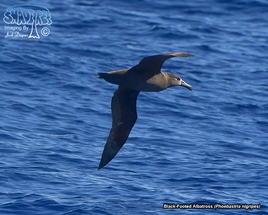 Black-Footed Albatross - Phoebastria nigripes