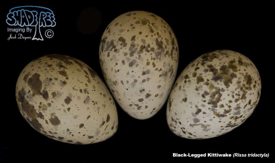 Black-Legged Kittiwake - Rissa tridactyla