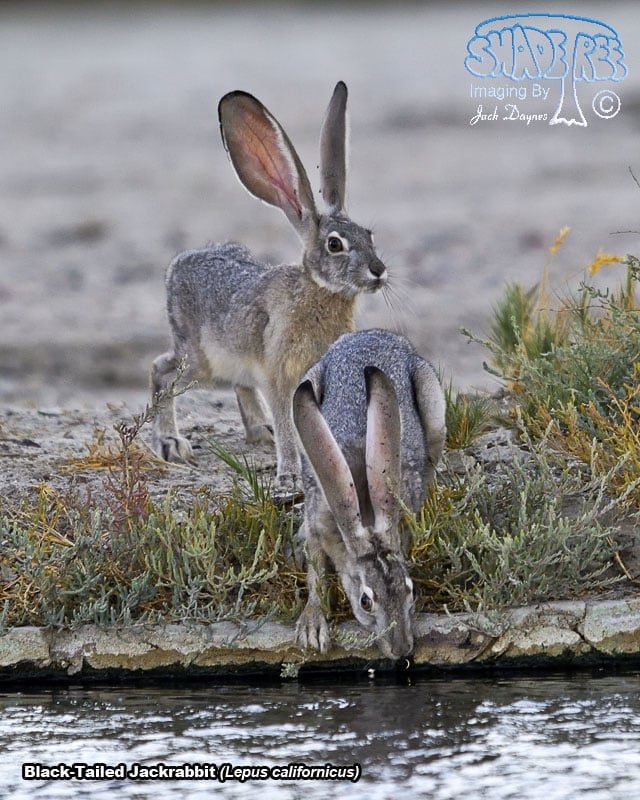 Black-Tailed Jackrabbit - Lepus californicus