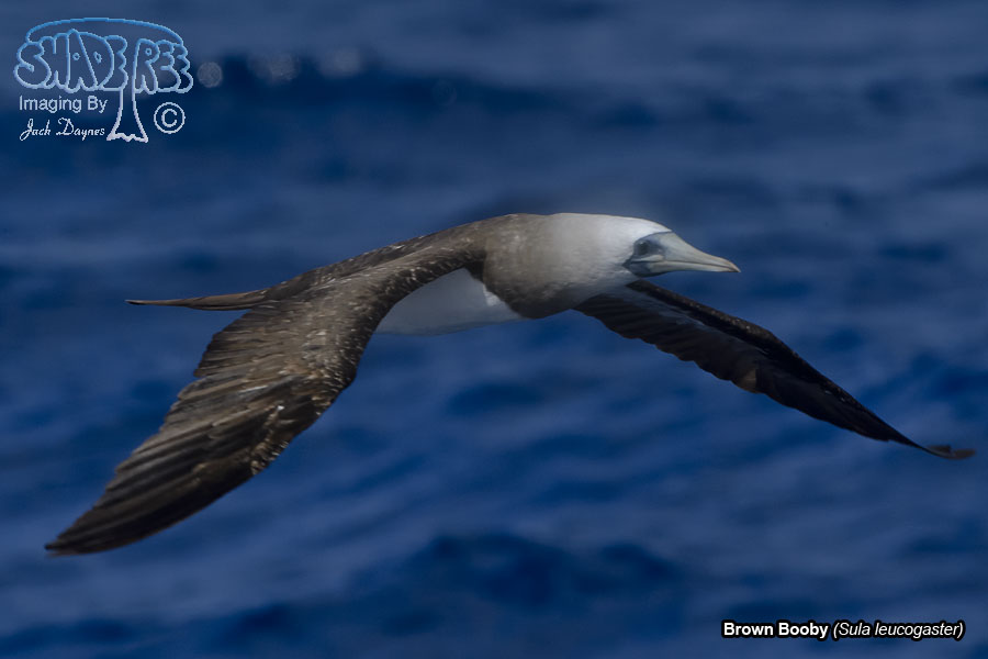 Brown Booby - Sula leucogaster