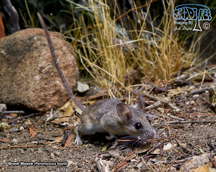 Brush Mouse - Peromyscus boylii