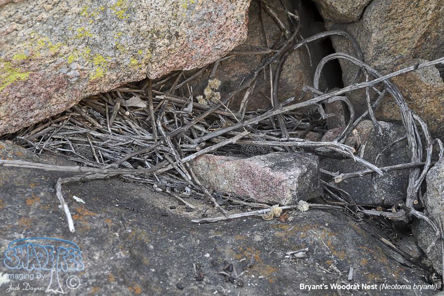 Bryant's Woodrat Nest - Neotoma bryanti