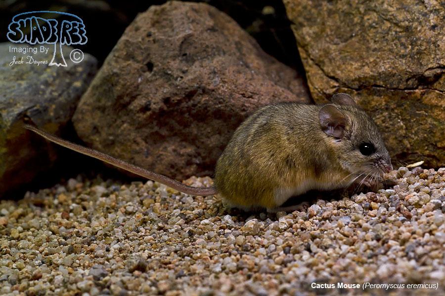 Cactus Mouse - Peromyscus eremicus
