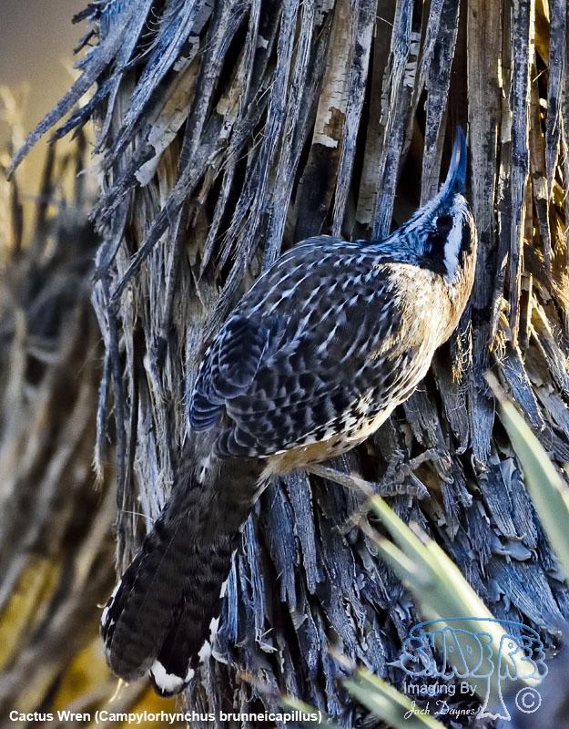 Cactus Wren - Campylorhynchus brunneicapillus