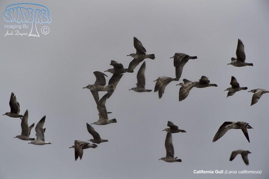 California Gull - Larus californicus
