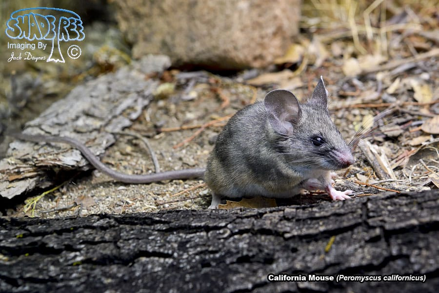 CaliforniaMouse - Peromyscus californicus