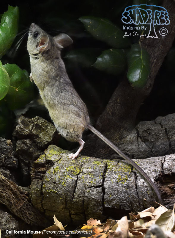 California Mouse - Peromyscus californicus