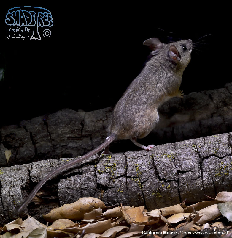 California Mouse - Peromyscus californicus