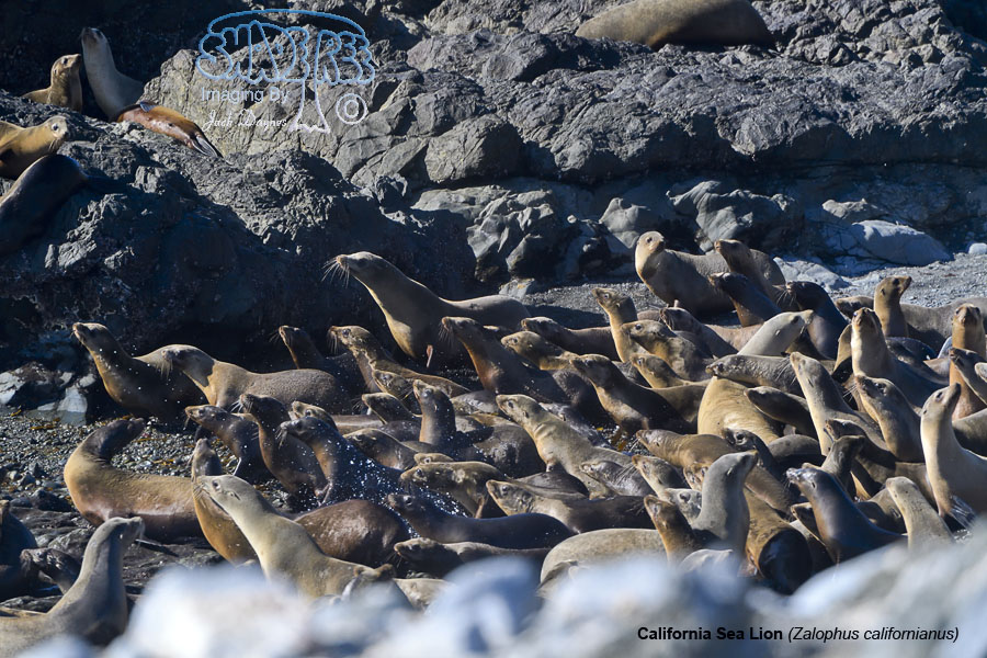 California Sea Lion - Zalophus californianus